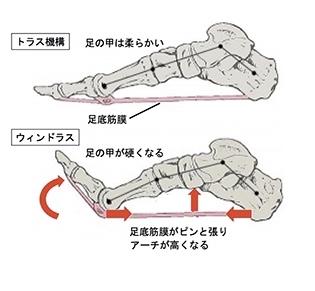 トラス機構とウィンドラスメカニズムによって足の安定感がもたらされている。